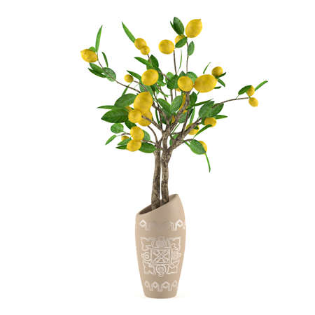 Citrus lime tree in the vase at the white background Banco de Imagens - 24710533