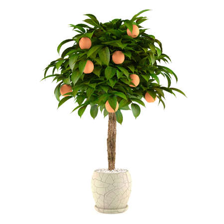 鍋に柑橘系のライムの木。白い背景で植木鉢
