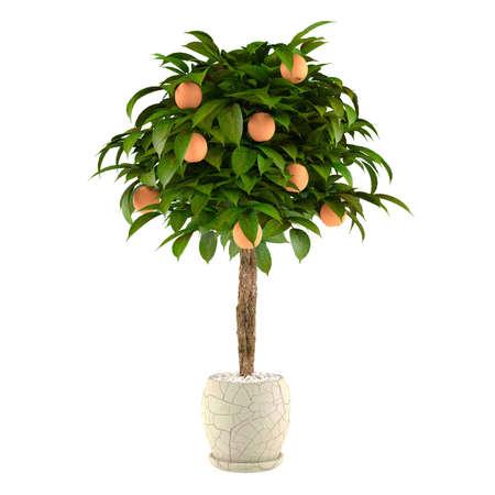 turunçgiller: Tencerede Narenciye ıhlamur ağacı. Beyaz arka plan at saksı