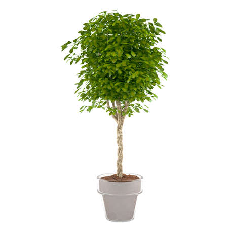potted: plant bush in the pot at the white background