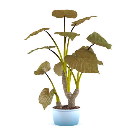 indoor garden: plant tree in the pot at the white background