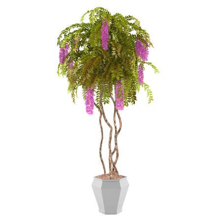 Arbusto Planta con flores de color rosa en la olla aislados photo