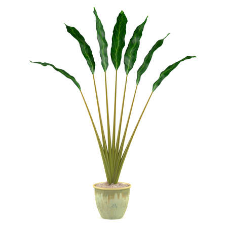 indoor garden: decorative plant in the pot at the white background Stock Photo