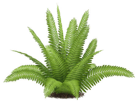 Fern isolated at the white background