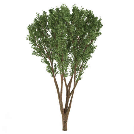 quercus robur: Decorative tree at the white background Stock Photo