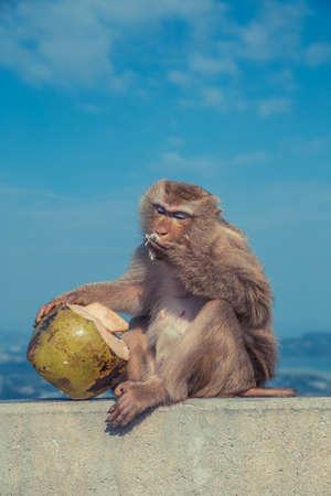 Cute monkey eating coconut.