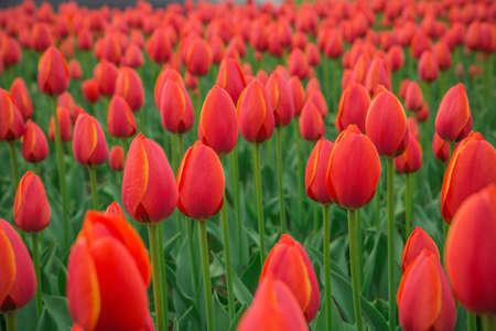 A bright red tulip flower background. Macro bokeh shot.