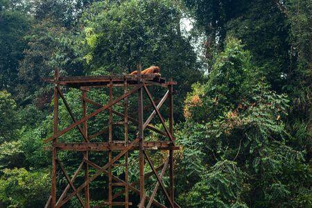 Adult orangutan laying down on the wooden platform in wildlife rehabilitation center of Eastern Borneo, Malaysia