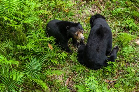Two sunbears sitting on the ground in wildlife conservation center in Eastern Borneo