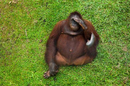 Adult orangutan laying on the ground in Matang wildlife centre, Borneo, Malaysia.