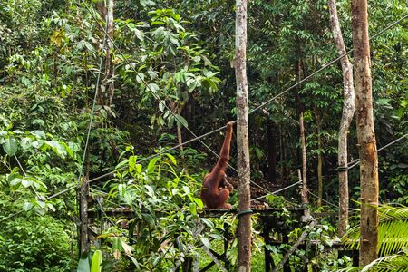 Orangutan eating bananas on the feeding platform in the forest of Borneo, Malaysia.