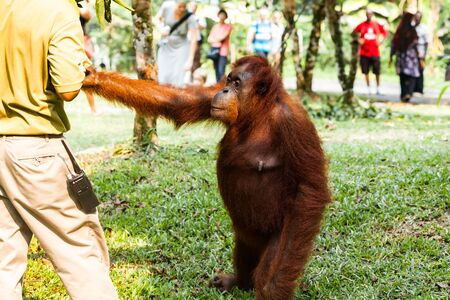 Orangutan asking for food from the ranger in wildlife conservation center Stock Photo