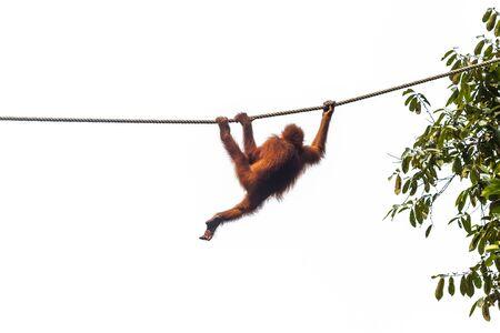 Small orangutan crawling the rope using three legs in wildlife conservation center Foto de archivo