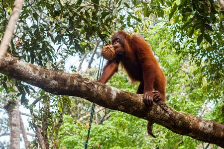 Young orangutan holding a coconut in the mouth and walking up the branch of the tree
