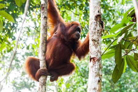 Adult female orangutan looking down from the trees while holding on two trunks, Borneo, Malaysia