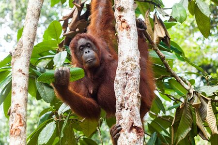 Adult female orangutan holding a tree leaf in her right hand while climbing up the tree