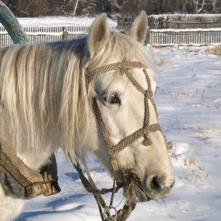 White horse closeup in the winter. photo