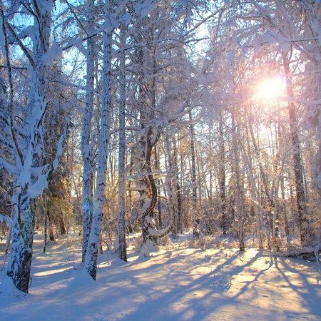 Morning sun in the winter forest.