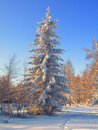 christmas scenic: Winter landscape with snow trees . Stock Photo