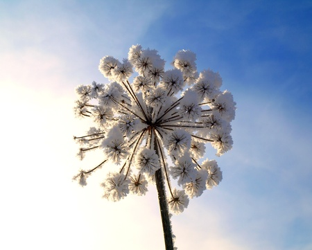 Ice covered dry flowers with deep blue sky  photo