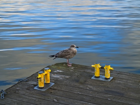 Seagull at the Wooden Pier. photo