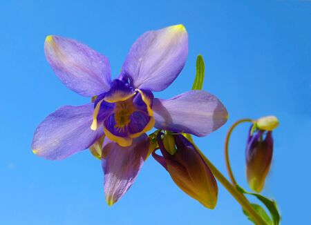 Catchment Olympic (Aquilegia Olympica) - flower on the blue background. photo