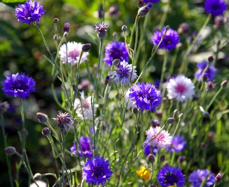Spring flowers cornflower with green foliage photo