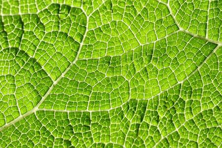 macro leaf: Macro of green leaf