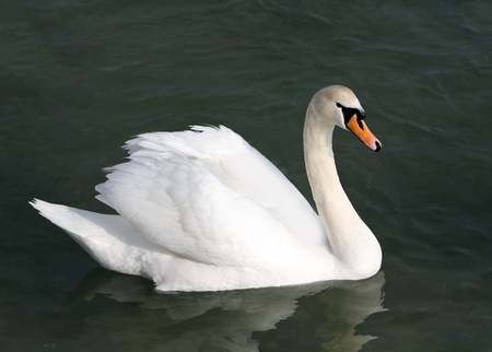 mute swan: White swan in the water.