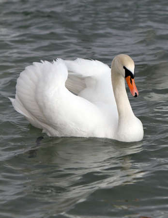 White swan in the water. photo