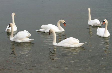 White swans in the water.  photo