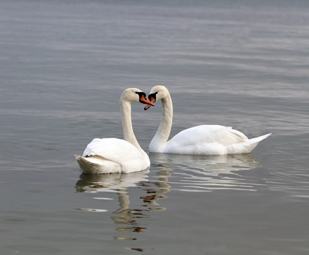 conceptual symbol: White swans on the water . Stock Photo