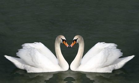 cisnes: Dos cisnes en el agua. Las aves representan el corazón como un símbolo de la boda y el amor.