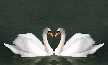 swans: Two swans on the water. Birds represent heart as a wedding and love symbol . Stock Photo