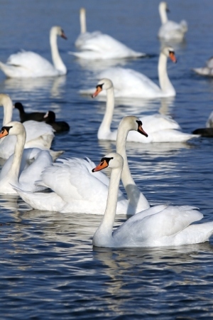 Swans on the water. photo