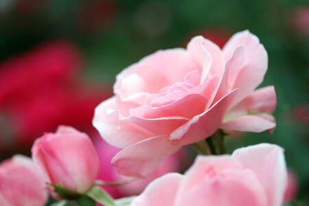 Roses in the garden Stock Photo - 14064257