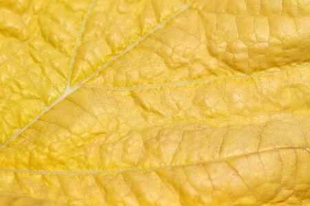 macro leaf: Macro of yellow leaf