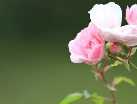 female pink: Roses in the garden