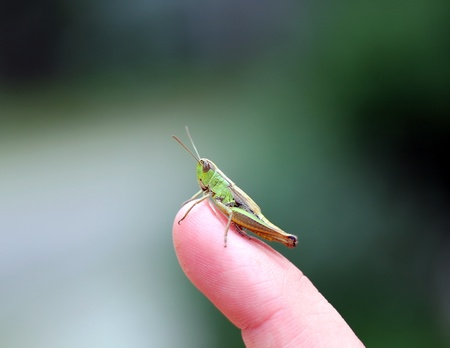 Green grasshopper on the finger Stock Photo - 17880793