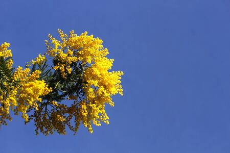 Mimosa flowers in the blue sky photo