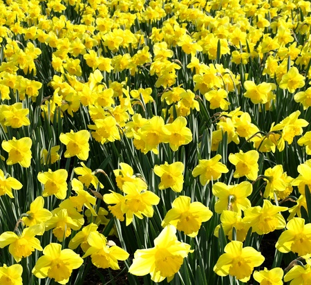Outdoor shot of yellow daffodils in a nicely full flowerbed photo
