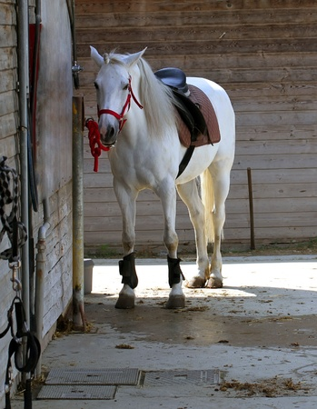 horse show: White horse in the stable