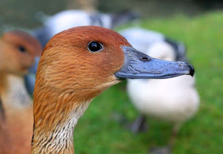 Portrait of a beautiful duck photo