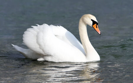swan: White swan in the water.
