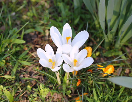 Beautiful Snowdrops Spring Flowers photo