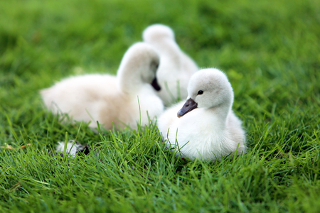 White Swan Cygnets on the grass photo