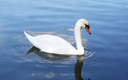 mute swan: White swan in the blue water.