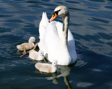 mute swan: White Swan Cygnets with Mother sweeming in the water Stock Photo