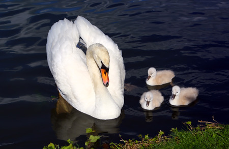 White Swan Cygnets with Mother in the water photo