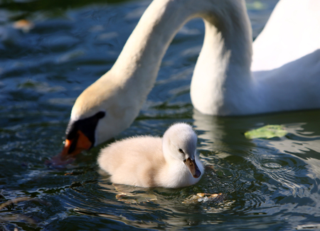 White Swan Cygnet with Mother in the water photo